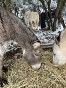 le nourrissage des chevaux sous la neige