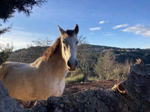 les chevaux du Mas Picagnol