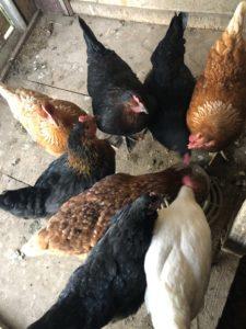 les poules du Mas Picagnol